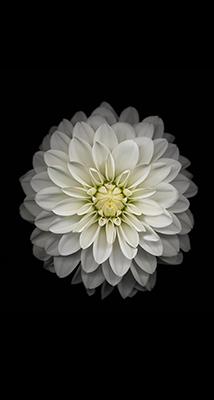 Fondo-Pantalla-iPhone-6-flor-blanca-min